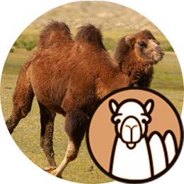 Duvet de chameau